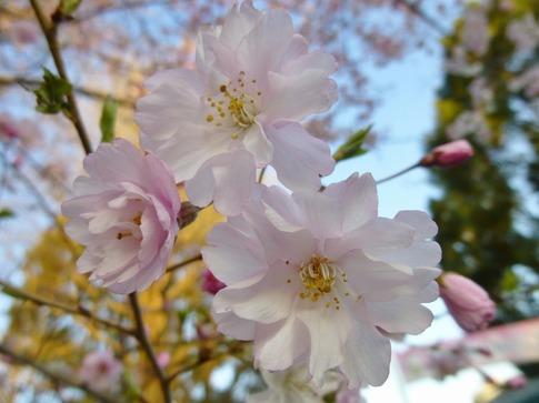 2019-04-04  Resized  上野公園‥ (7).jpg