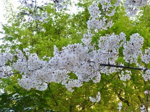 2019-04-05  Resized  飯田橋外堀‥ (19).jpg