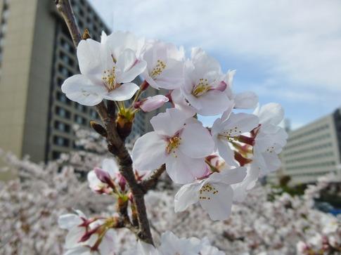 2019-04-05  Resized  飯田橋外堀‥ (6).jpg