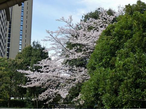 2019-04-05  Resized  飯田橋外堀‥ (7).jpg