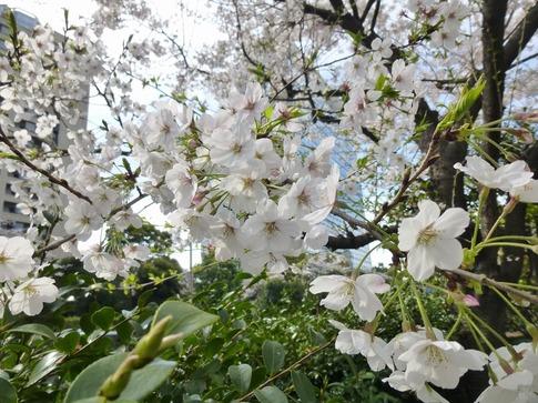 2019-04-05  Resized  飯田橋外堀‥ (9).jpg
