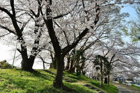 2019-04-06  Resized  熊谷市(万平公園)‥ (1).jpg