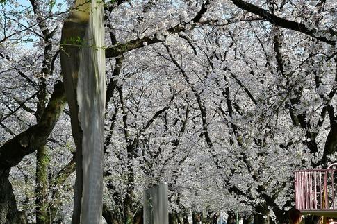 2019-04-06  Resized  熊谷市(万平公園)‥ (3).jpg