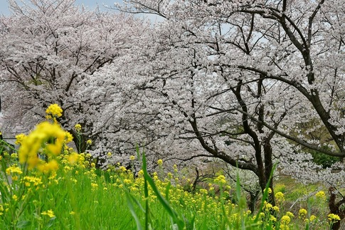 2019-04-07  Resized  吉見桜堤‥ (12).jpg