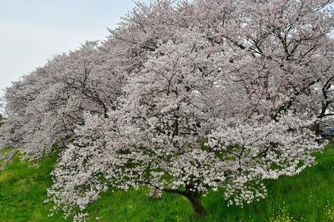 2019-04-07  Resized  吉見桜堤‥ (21).jpg