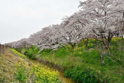 2019-04-07  Resized  吉見桜堤‥ (3).jpg