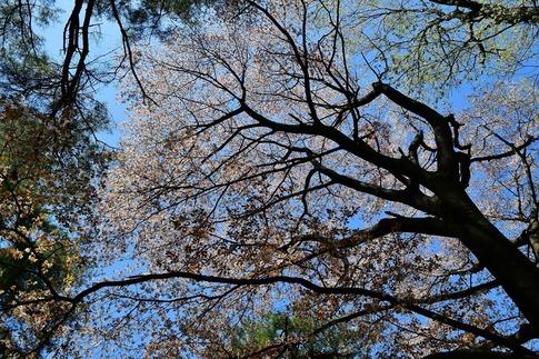 2019-04-13  A-Resized  武蔵丘陵森林公園‥ (11).jpg