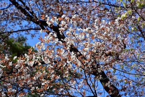 2019-04-13  A-Resized  武蔵丘陵森林公園‥ (15).jpg