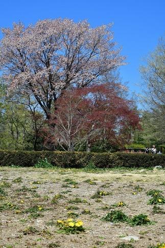 2019-04-13  A-Resized  武蔵丘陵森林公園‥ (2).jpg