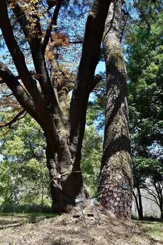 2019-04-13  A-Resized  武蔵丘陵森林公園‥ (4).jpg