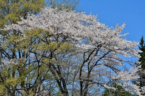 2019-04-13  A-Resized  武蔵丘陵森林公園‥ (7).jpg