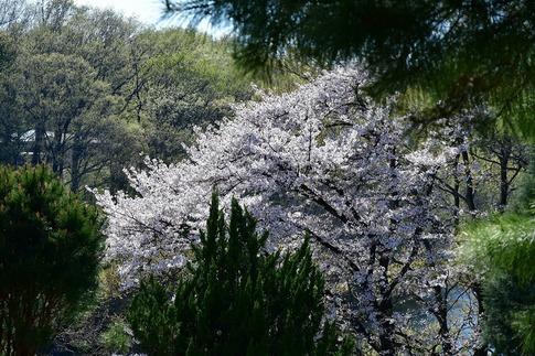 2019-04-13  C-Resized  武蔵丘陵森林公園‥ (9).jpg