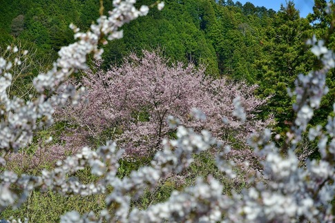 2019-04-20  A-Resized  古峯園(鹿沼市草久)‥ (14).jpg