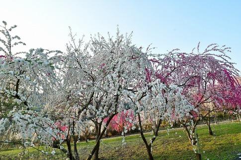 2019-04-20  A-Resized  花桃街道(小夜戸・大畑)群馬県みどり市‥ (6).jpg