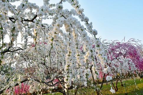 2019-04-20  A-Resized  花桃街道(小夜戸・大畑)群馬県みどり市‥ (8).jpg