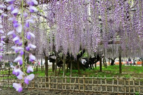 2019-05-03  Resized  玉敷神社の藤ほか‥ (12).jpg