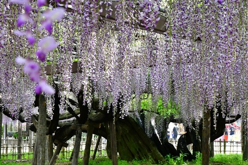 2019-05-03  Resized  玉敷神社の藤ほか‥ (16).jpg