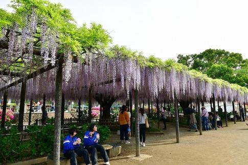 2019-05-03  Resized  玉敷神社の藤ほか‥ (4).jpg
