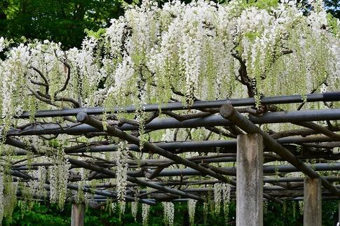2019-05-03  Resized  玉敷神社の藤ほか‥ (5).jpg