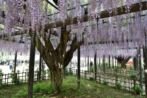 2019-05-03  Resized  玉敷神社の藤ほか‥ (6).jpg