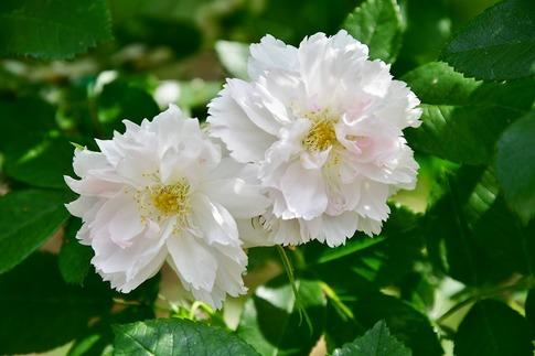 2019-05-19  A-Resized  平成の森公園(埼玉県比企郡川島町)‥ (4).jpg