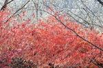 A-Resized 桜山(冬桜) (12).jpg