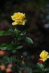 A-Resized 秋のバラ‥ (2).jpg