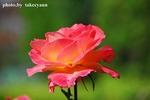 A-Resized 秋のバラ‥ (3).jpg