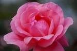 A-Resized 秋のバラ‥ (4).jpg