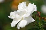 A-Resized 秋のバラ‥ (7).jpg