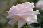 A-Resized 秋のバラ‥ (9).jpg