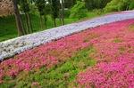 B-Resized 羊山公園の芝桜‥ (11).jpg