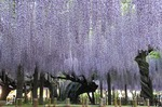 Resized 藤まつり‥(玉敷神社).jpg