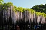 Resized 藤まつり‥(玉敷神社) (5).jpg