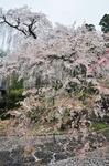 Resized 長妙寺のしだれ桜‥(須坂市) (5).jpg