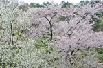 Resized 須坂市臥竜公園の桜‥ (11).jpg