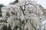 Resized 須坂市臥竜公園の桜‥ (4).jpg