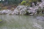 Resized 須坂市臥竜公園の桜‥ (7).jpg