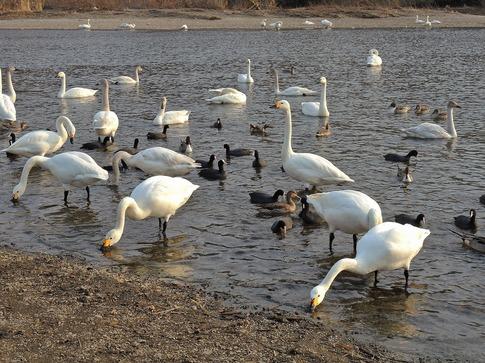 2018-02-25  A-Resized  川島の越冬地の白鳥‥ (10).jpg