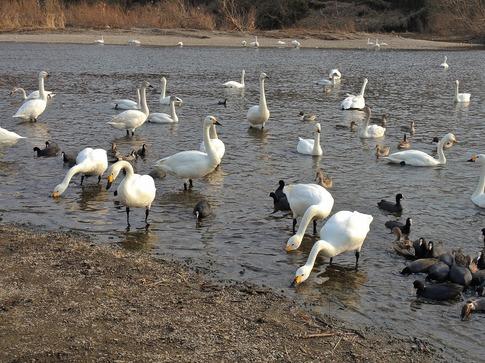 2018-02-25  A-Resized  川島の越冬地の白鳥‥ (11).jpg
