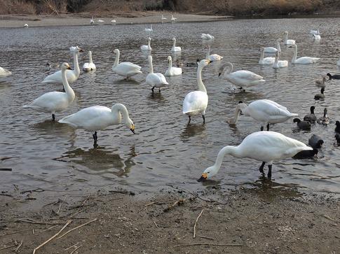 2018-02-25  A-Resized  川島の越冬地の白鳥‥ (16).jpg