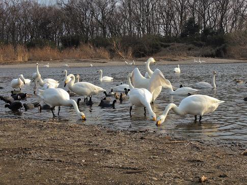 2018-02-25  A-Resized  川島の越冬地の白鳥‥ (9).jpg