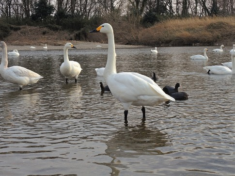 2018-02-25  B-Resized  川島の越冬地の白鳥‥ (10).jpg
