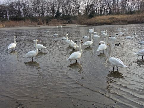 2018-02-25  B-Resized  川島の越冬地の白鳥‥ (2).jpg