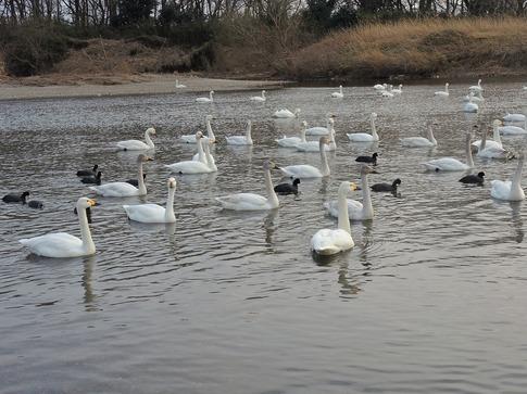 2018-02-25  C-Resized   川島の越冬地の白鳥‥ (2).jpg