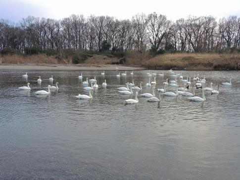 2018-02-25  C-Resized   川島の越冬地の白鳥‥ (3).jpg