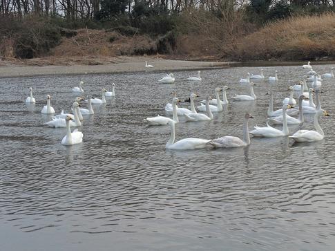 2018-02-25  C-Resized   川島の越冬地の白鳥‥ (5).jpg