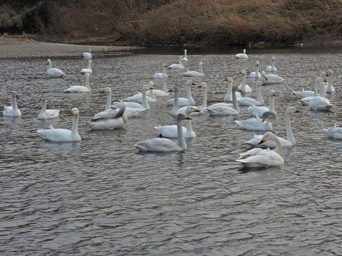 2018-02-25  C-Resized   川島の越冬地の白鳥‥ (6).jpg
