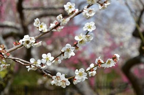 2018-03-11  A-Resized  国営武蔵丘陵森林公園(梅園ほか)‥ (10).jpg
