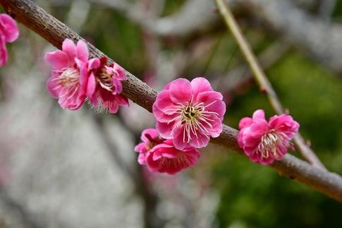 2018-03-11  A-Resized  国営武蔵丘陵森林公園(梅園ほか)‥ (12).jpg